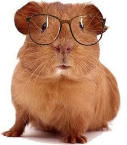 guinea pig with glasses